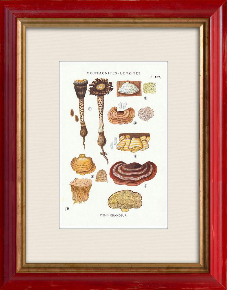 Gravures Anciennes & Dessins | Mycologie - Champignon - Montagnites - Lenzites Pl.157 | Impression | 1919