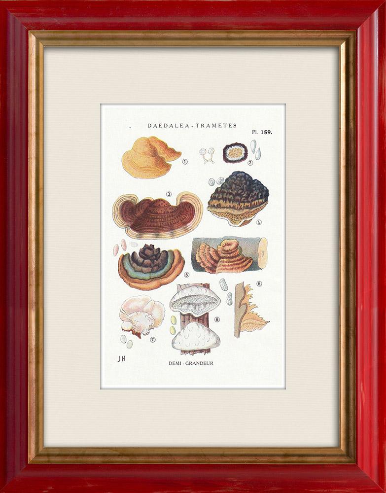 Gravures Anciennes & Dessins | Mycologie - Champignon - Daedalea - Trametes Pl.159 | Impression | 1919
