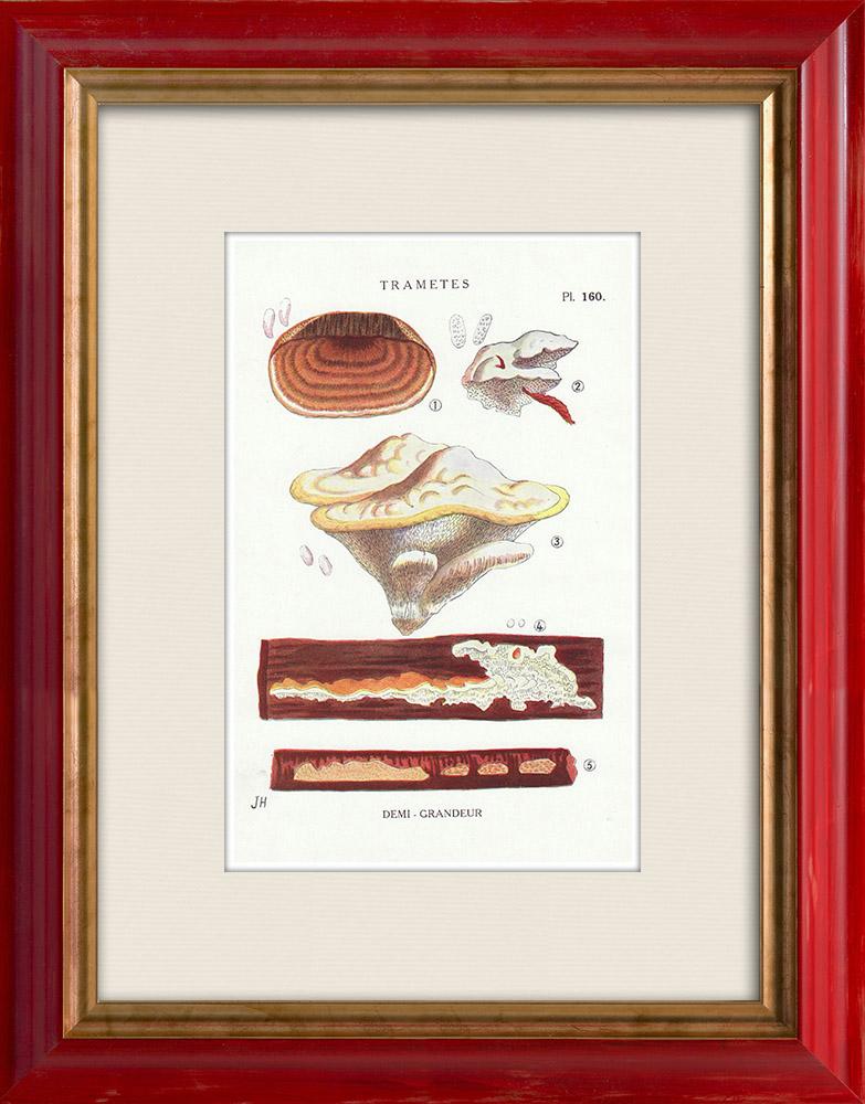 Grabados & Dibujos Antiguos | Micología - Seta - Trametes Pl.160 | Estampa | 1919
