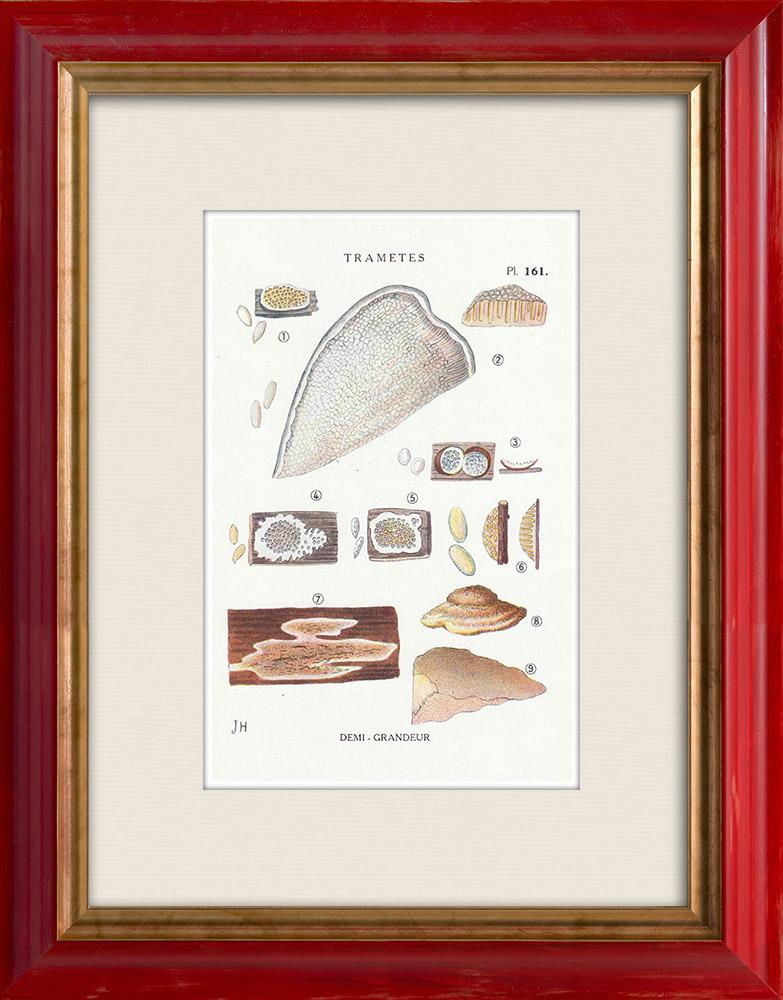 Gravures Anciennes & Dessins | Mycologie - Champignon - Trametes Pl.161 | Impression | 1919