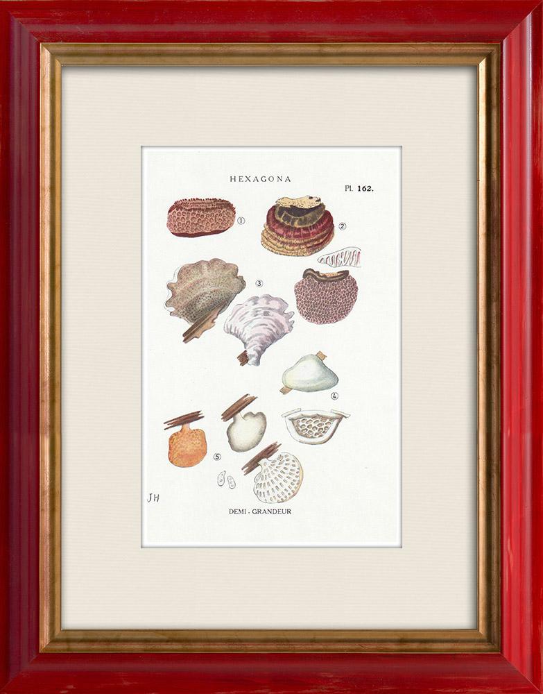 Gravures Anciennes & Dessins | Mycologie - Champignon - Hexagona Pl.162 | Impression | 1919
