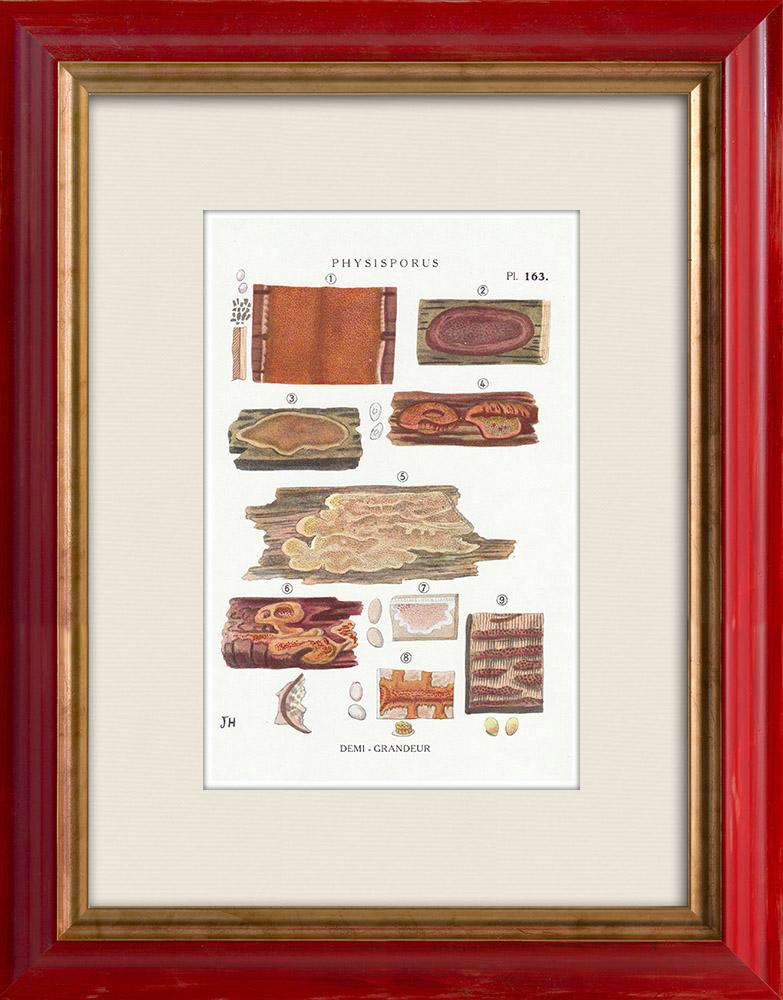 Antique Prints & Drawings | Mycology - Mushroom - Physisporus Pl.163 | Print | 1919