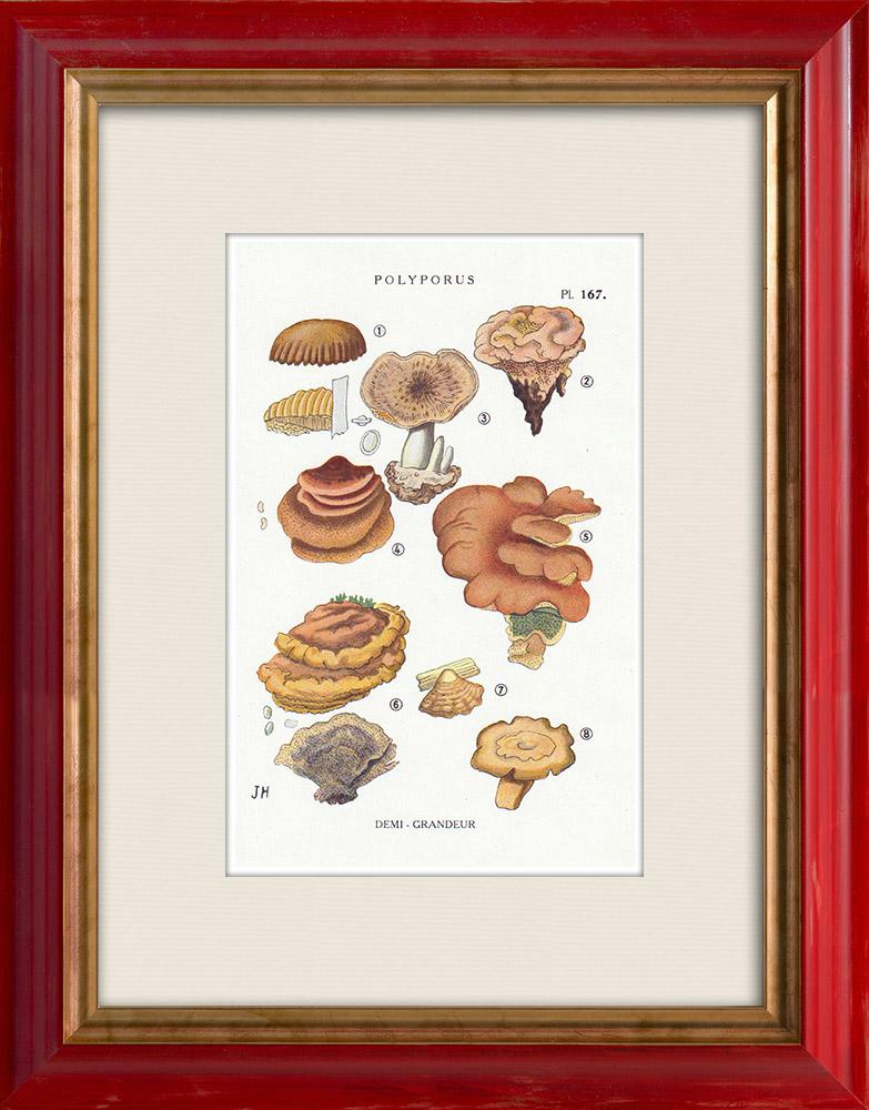 Antique Prints & Drawings | Mycology - Mushroom - Polyporus Pl.167 | Print | 1919