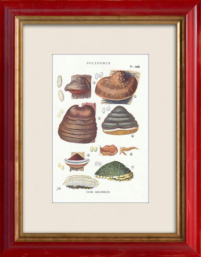 Antique Prints & Drawings | Mycology - Mushroom - Polyporus Pl.168 | Print | 1919