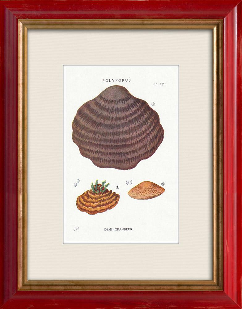 Grabados & Dibujos Antiguos | Micología - Seta - Polyporus Pl.171 | Estampa | 1919