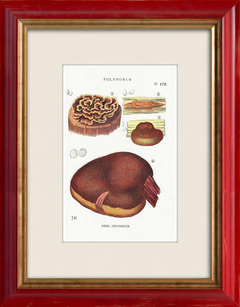 Antique Prints & Drawings | Mycology - Mushroom - Polyporus Pl.172 | Print | 1919