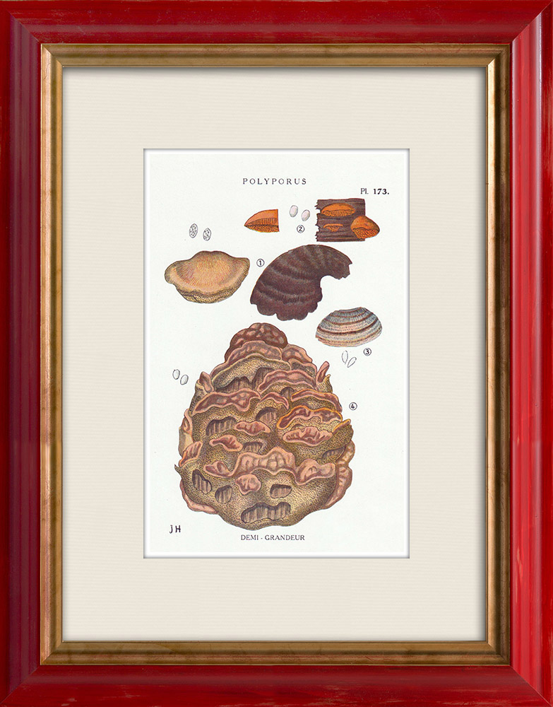 Antique Prints & Drawings | Mycology - Mushroom - Polyporus Pl.173 | Print | 1919