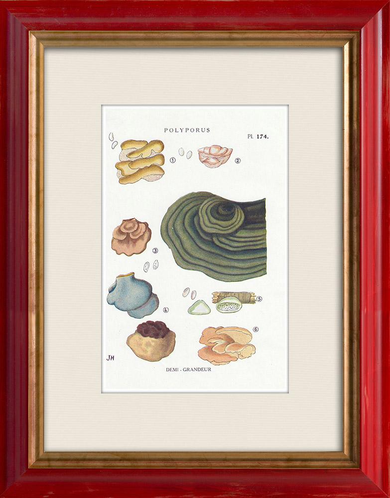 Antique Prints & Drawings | Mycology - Mushroom - Polyporus Pl.174 | Print | 1919