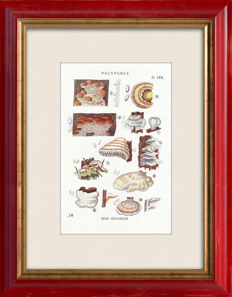 Antique Prints & Drawings | Mycology - Mushroom - Polyporus Pl.175 | Print | 1919