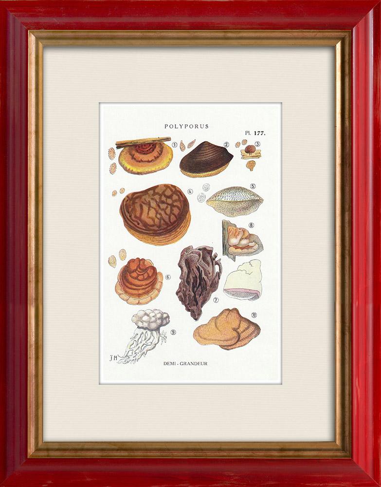 Antique Prints & Drawings | Mycology - Mushroom - Polyporus Pl.177 | Print | 1919