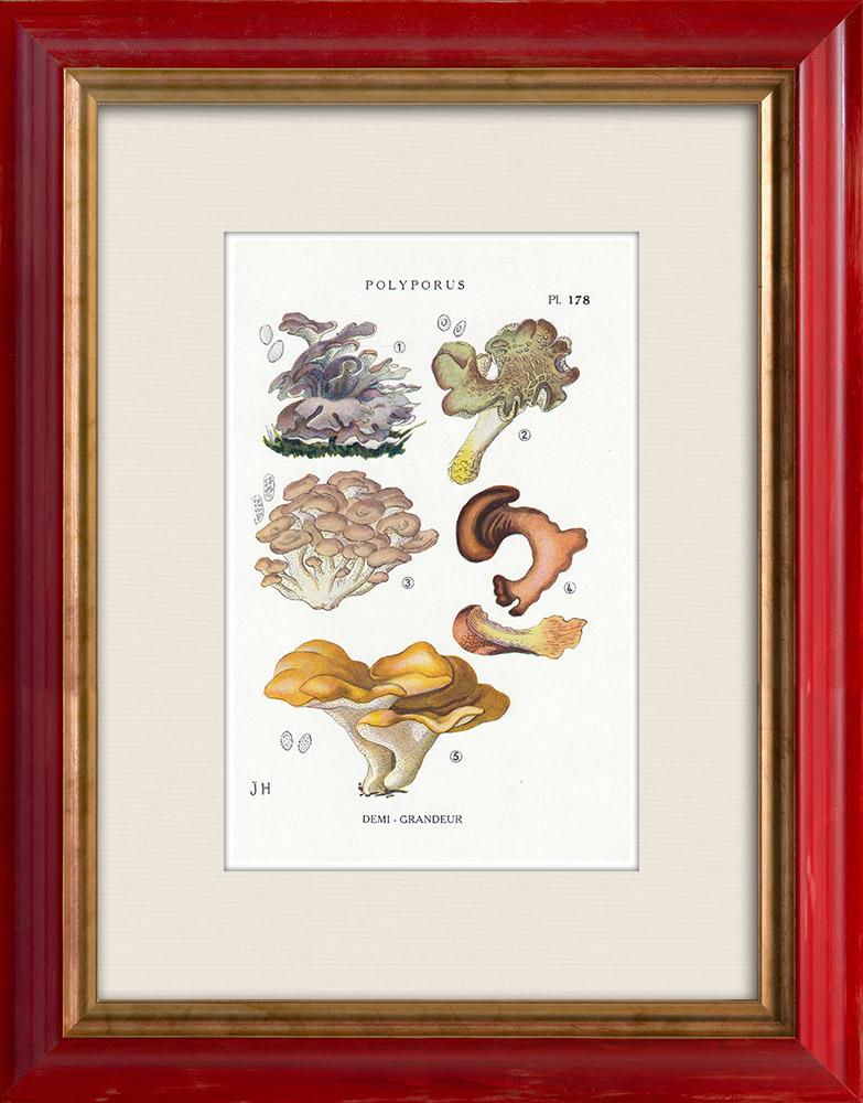 Antique Prints & Drawings   Mycology - Mushroom - Polyporus Pl.178   Print   1919