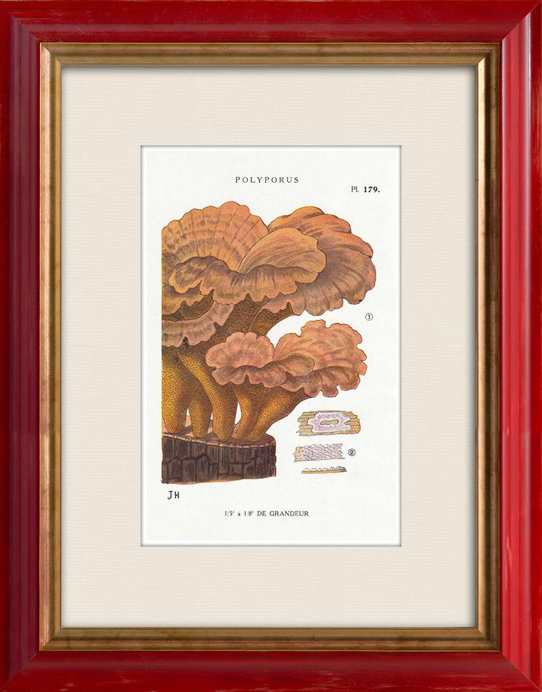 Antique Prints & Drawings   Mycology - Mushroom - Polyporus Pl.179   Print   1919