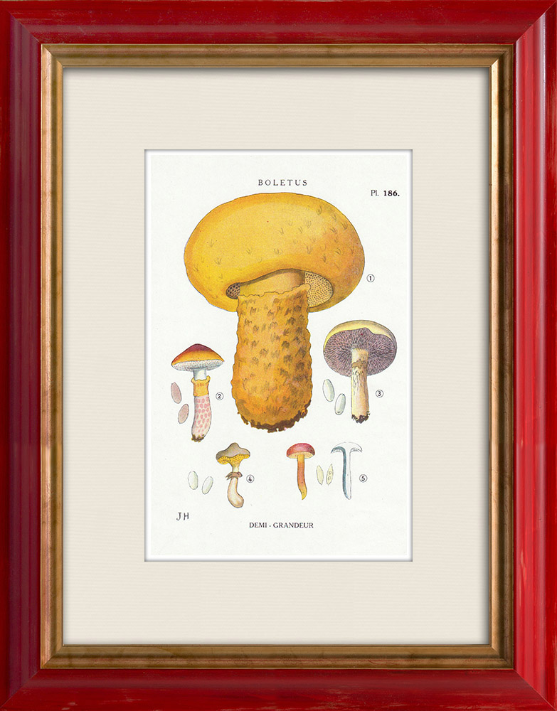 Antique Prints & Drawings | Mycology - Mushroom - Boletus Pl.186 | Print | 1919
