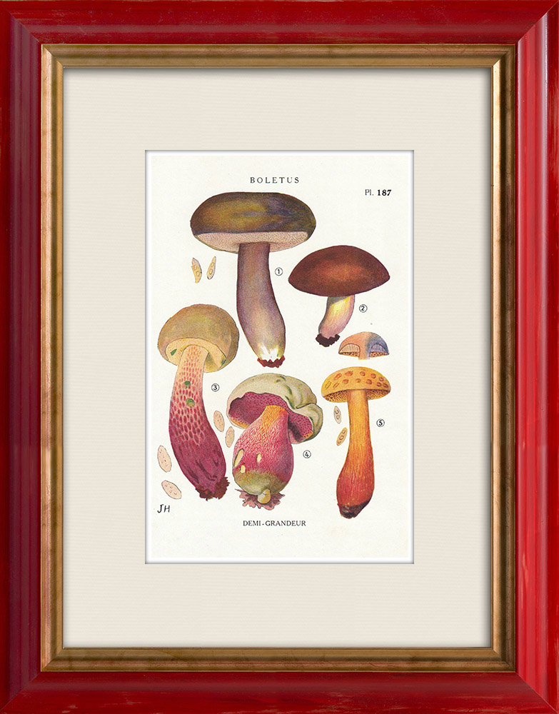 Antique Prints & Drawings | Mycology - Mushroom - Boletus Pl.187 | Print | 1919