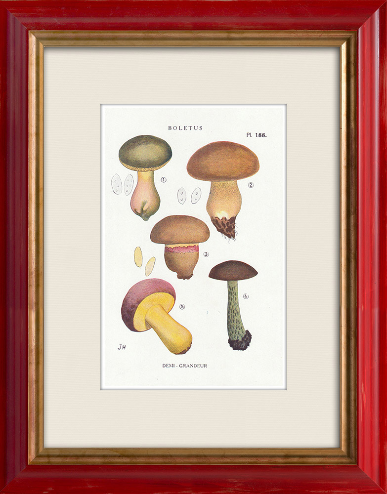 Antique Prints & Drawings | Mycology - Mushroom - Boletus Pl.188 | Print | 1919