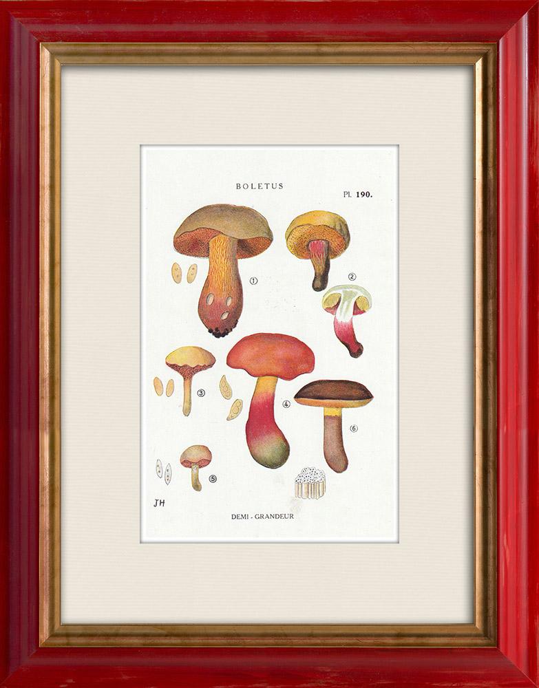 Antique Prints & Drawings | Mycology - Mushroom - Boletus Pl.190 | Print | 1919