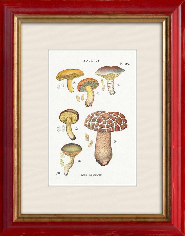 Gravures Anciennes & Dessins | Mycologie - Champignon - Boletus Pl.192 | Impression | 1919