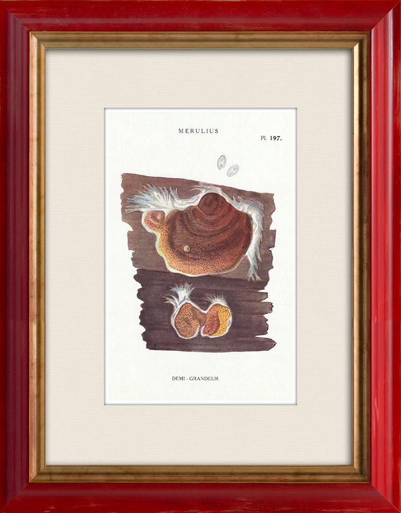 Gravures Anciennes & Dessins | Mycologie - Champignon - Merulius Pl.197 | Impression | 1919