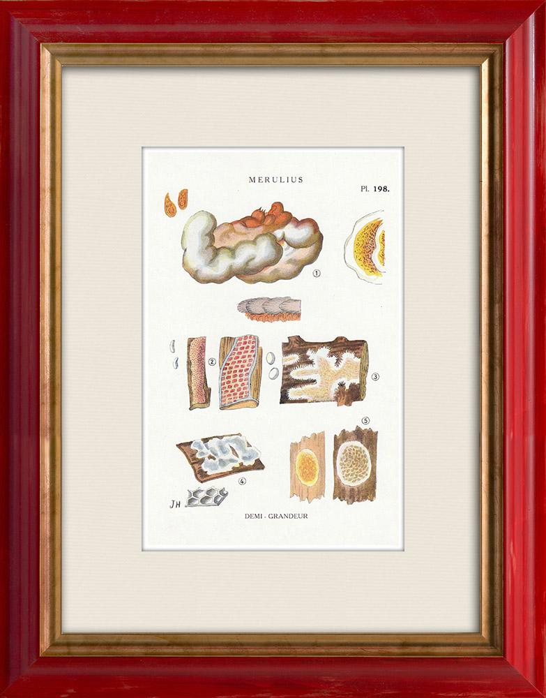 Antique Prints & Drawings   Mycology - Mushroom - Merulius Pl.198   Print   1919