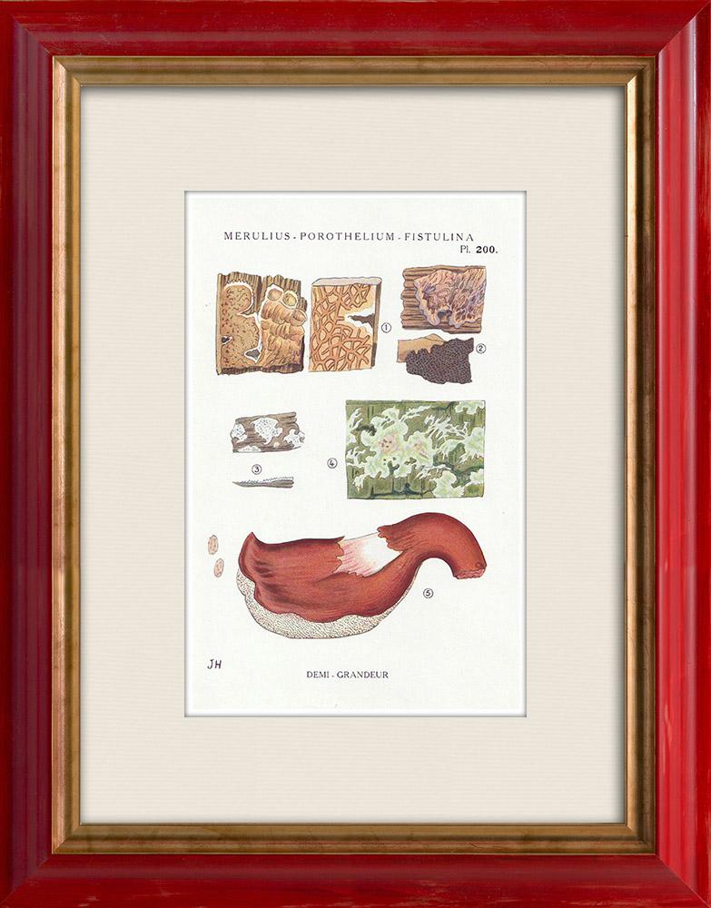 Gravures Anciennes & Dessins   Mycologie - Champignon - Merulius - Porothelium - Fistulina Pl.200   Impression   1919