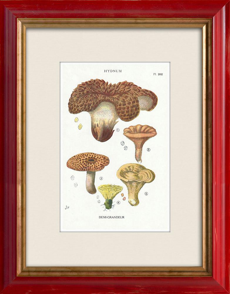 Antique Prints & Drawings   Mycology - Mushroom - Hydnum Pl.202   Print   1919