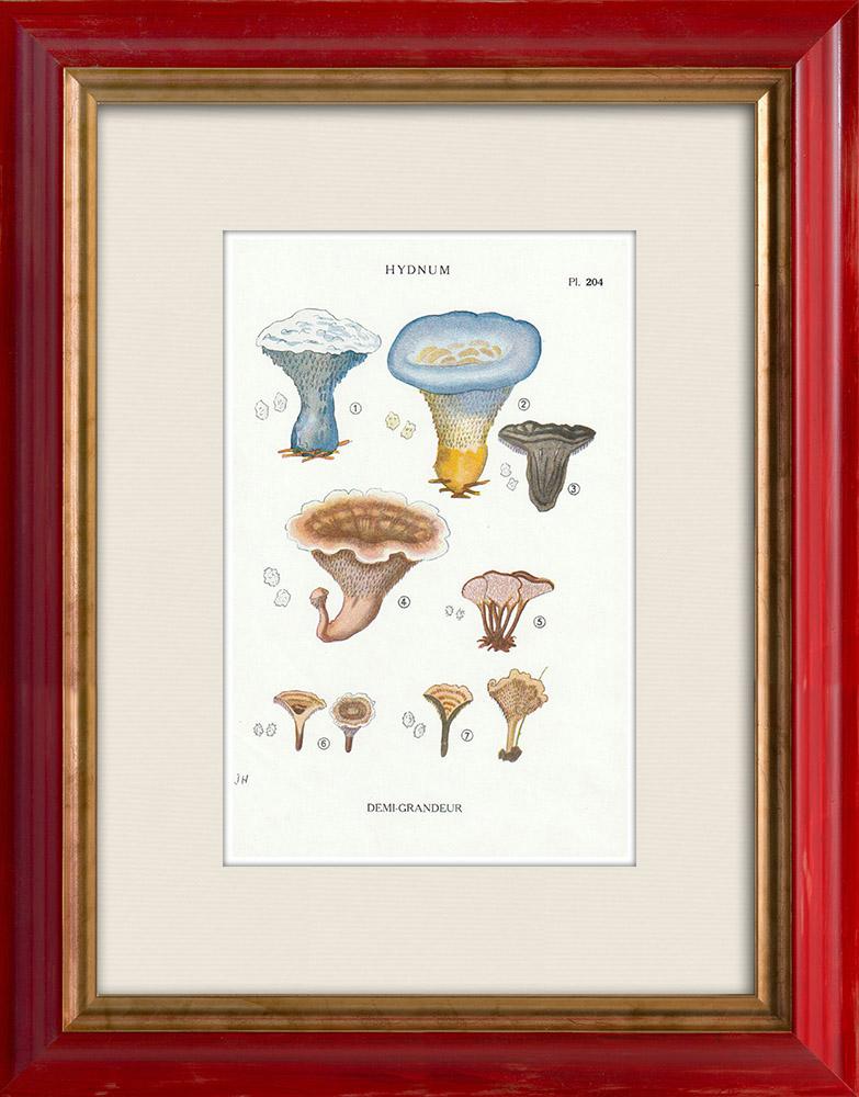 Gravures Anciennes & Dessins   Mycologie - Champignon - Hydnum Pl.204   Impression   1919