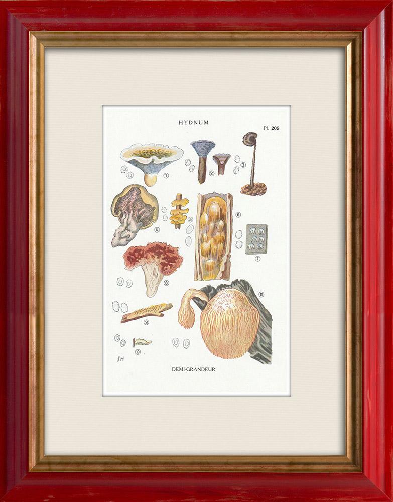 Antique Prints & Drawings | Mycology - Mushroom - Hydnum Pl.205 | Print | 1919