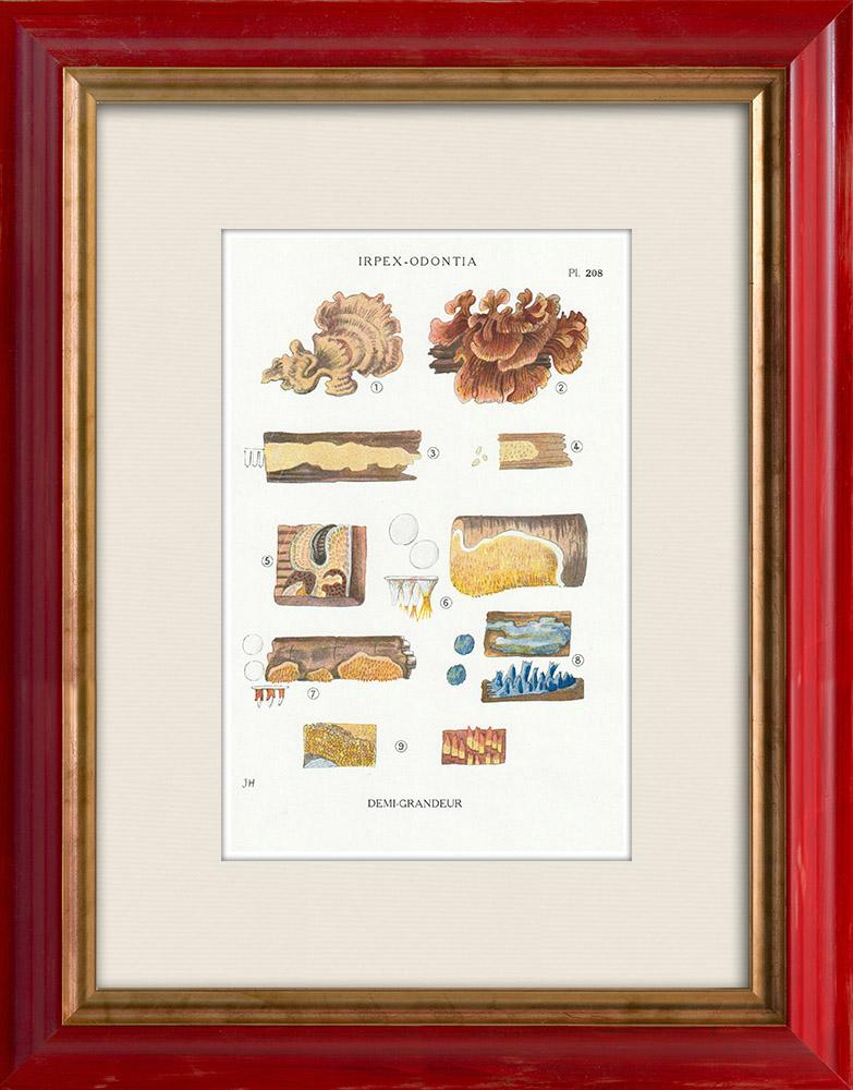 Gravures Anciennes & Dessins   Mycologie - Champignon - Irpex - Odontia Pl.208   Impression   1919