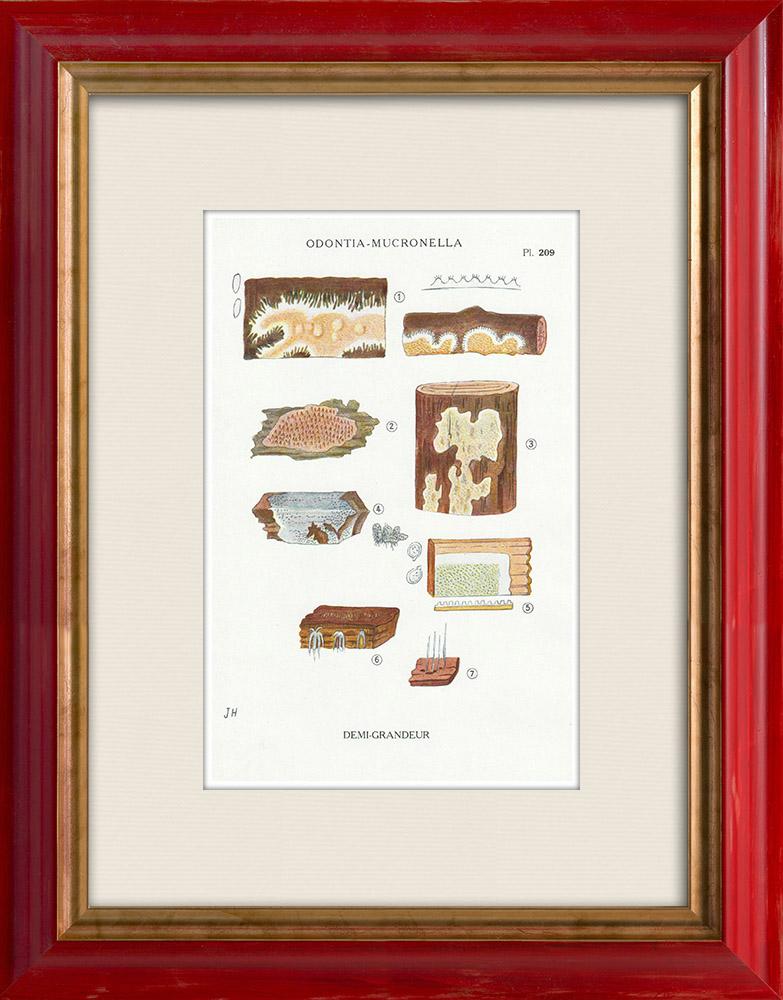 Gravures Anciennes & Dessins | Mycologie - Champignon - Odontia - Mucronella Pl.209 | Impression | 1919