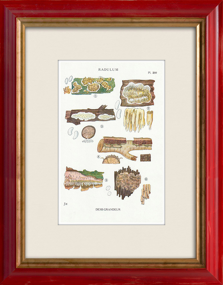 Gravures Anciennes & Dessins | Mycologie - Champignon - Radulum Pl.210 | Impression | 1919