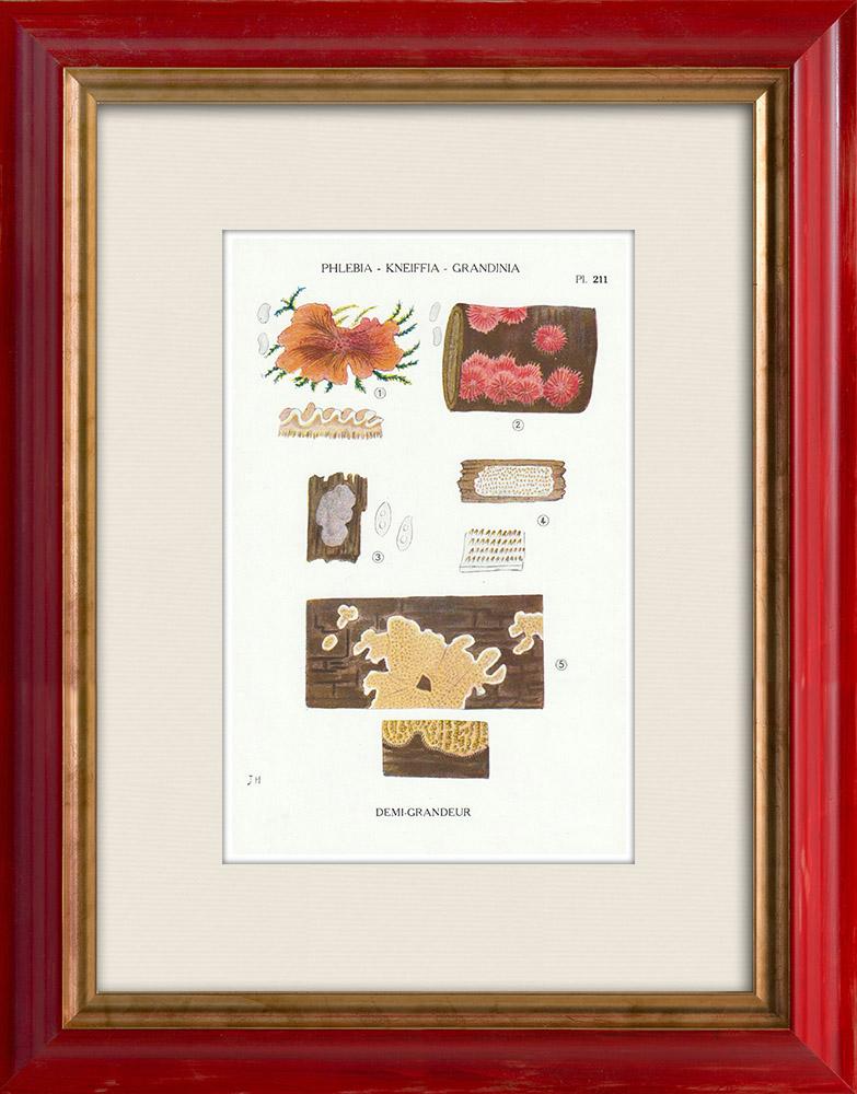 Gravures Anciennes & Dessins | Mycologie - Champignon - Phlebia - Kneiffia - Grandinia Pl.211 | Impression | 1919