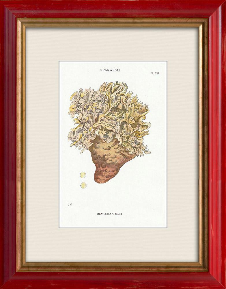 Gravures Anciennes & Dessins   Mycologie - Champignon - Sparassis Pl.212   Impression   1919