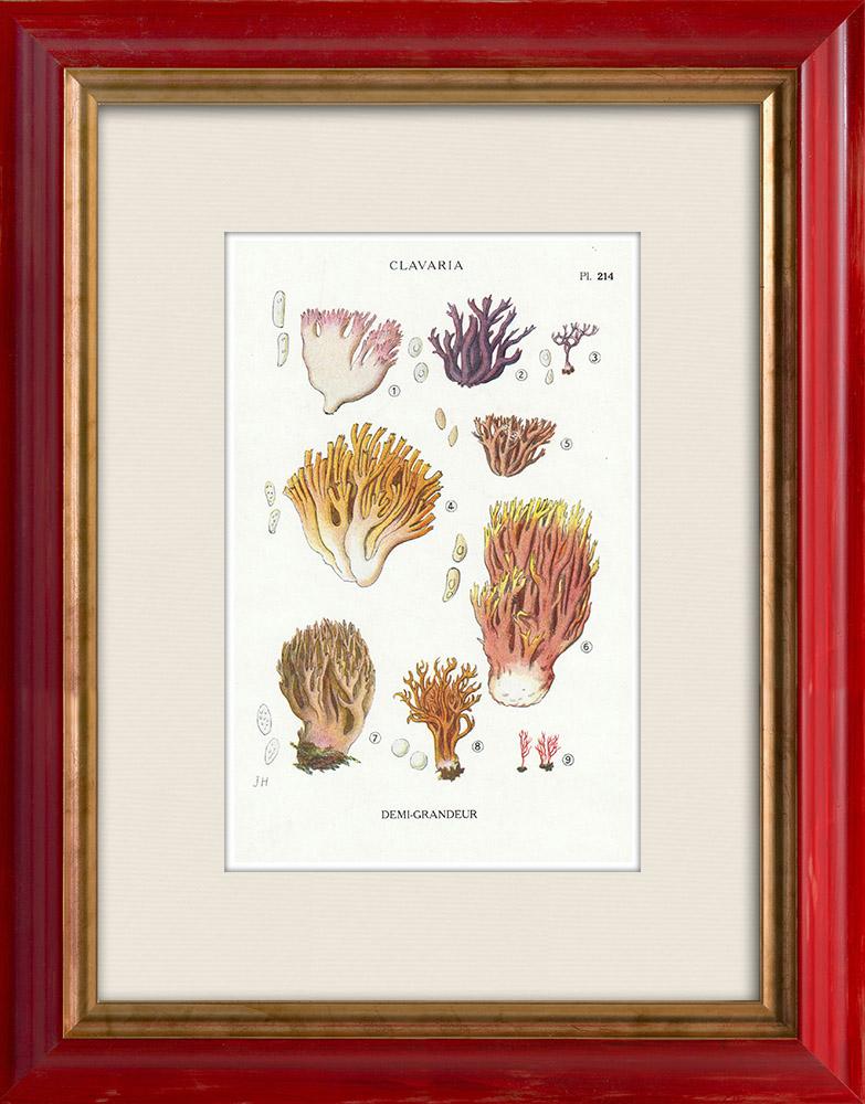 Antique Prints & Drawings | Mycology - Mushroom - Clavaria Pl.214 | Print | 1919