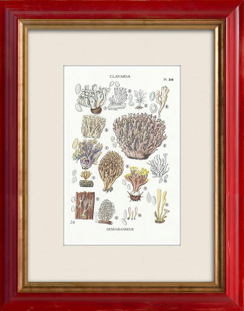 Antique Prints & Drawings | Mycology - Mushroom - Clavaria Pl.216 | Print | 1919