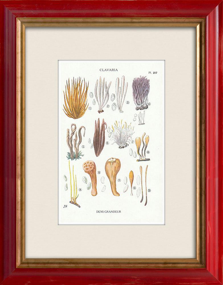Gravures Anciennes & Dessins | Mycologie - Champignon - Clavaria Pl.217 | Impression | 1919