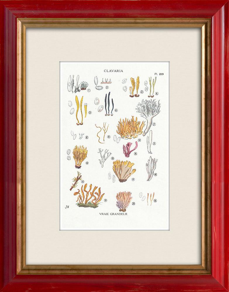 Gravures Anciennes & Dessins | Mycologie - Champignon - §Clavaria Pl.219 | Impression | 1919