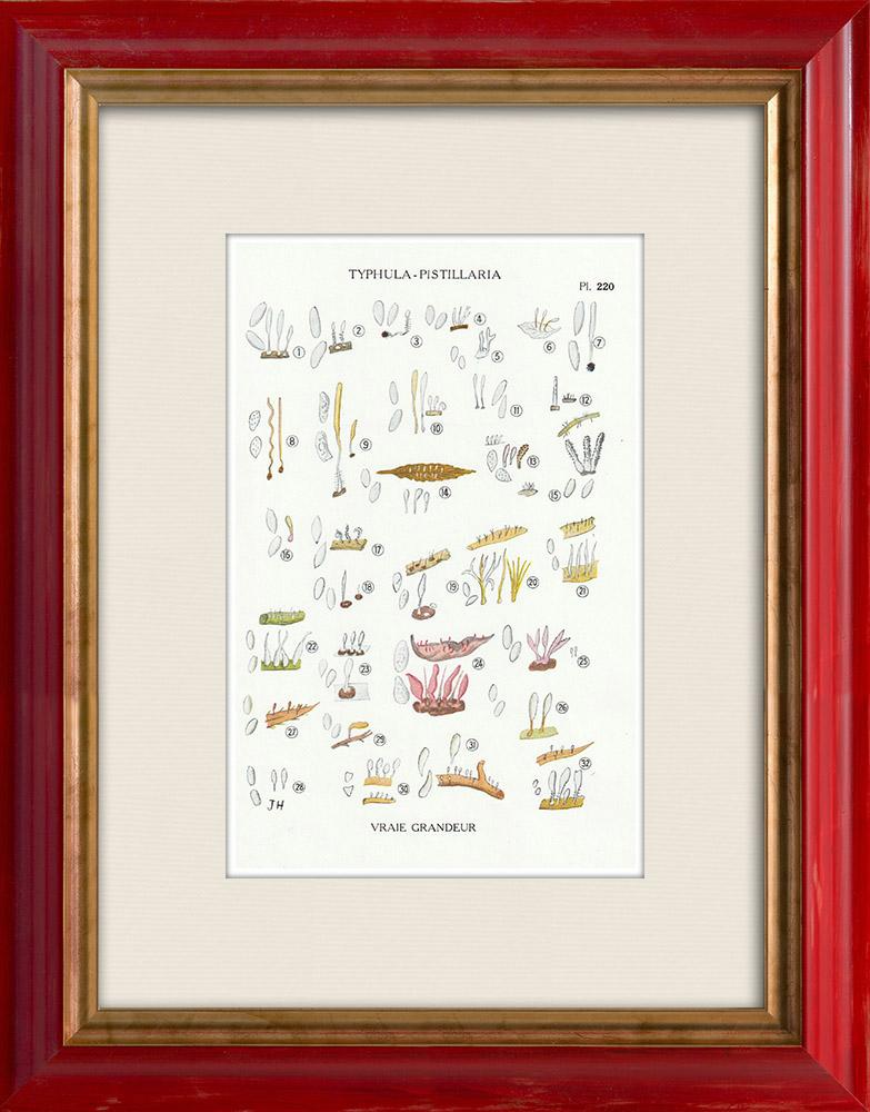 Grabados & Dibujos Antiguos | Micología - Seta - Typhula - Pistillaria Pl.220 | Estampa | 1919
