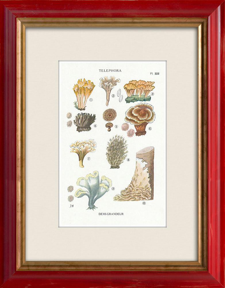 Gravures Anciennes & Dessins | Mycologie - Champignon - Telephora Pl.222 | Impression | 1919