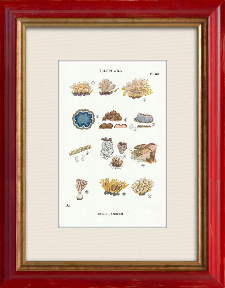 Gravures Anciennes & Dessins   Mycologie - Champignon - Telephora Pl.223   Impression   1919