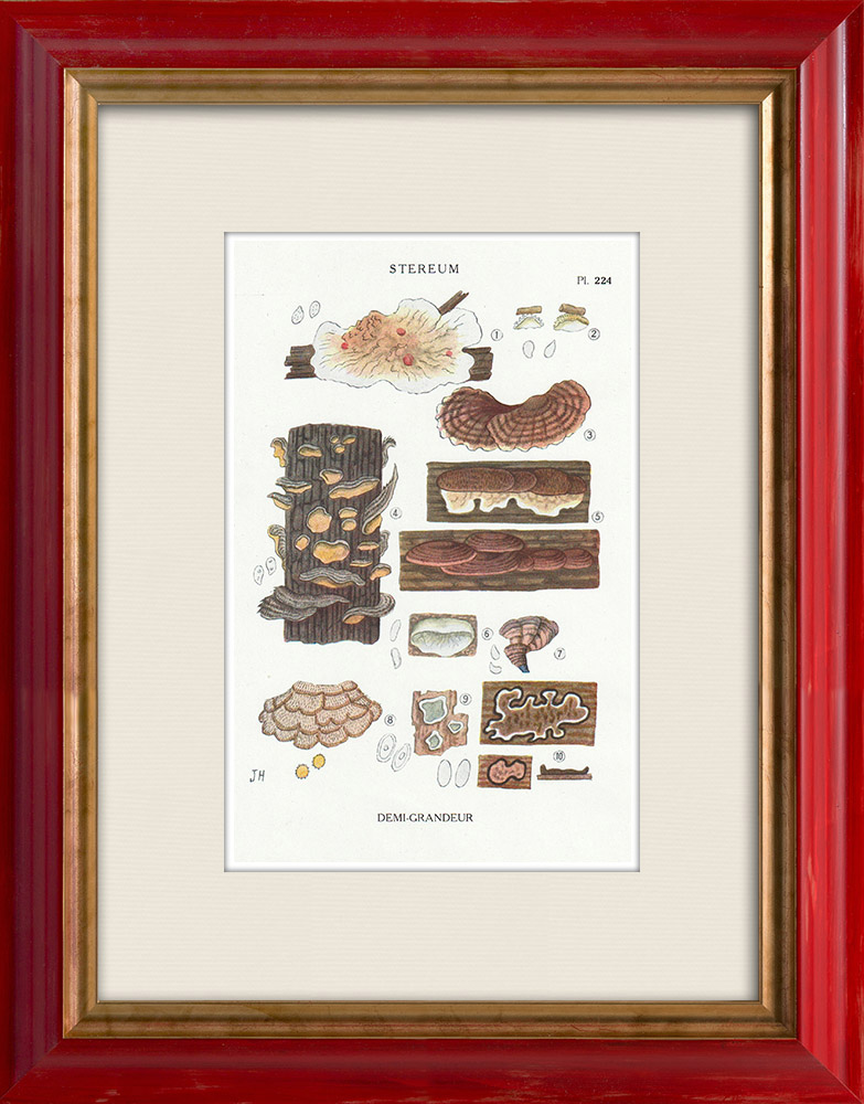 Antique Prints & Drawings | Mycology - Mushroom - Stereum Pl.224 | Print | 1919