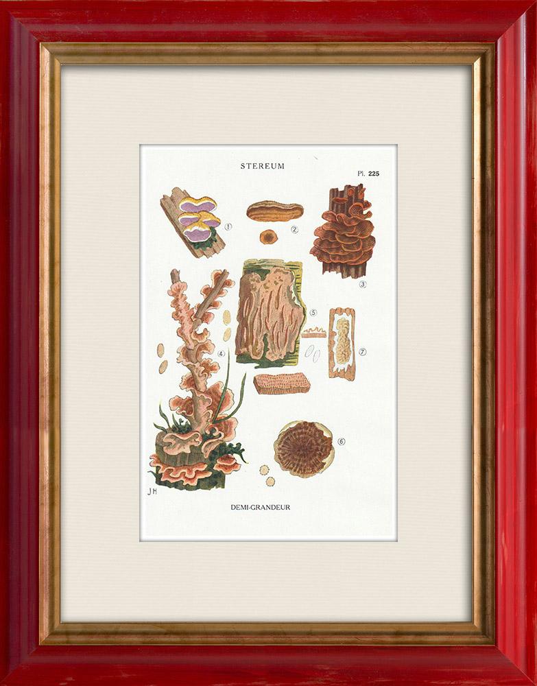 Antique Prints & Drawings | Mycology - Mushroom - Stereum Pl.225 | Print | 1919