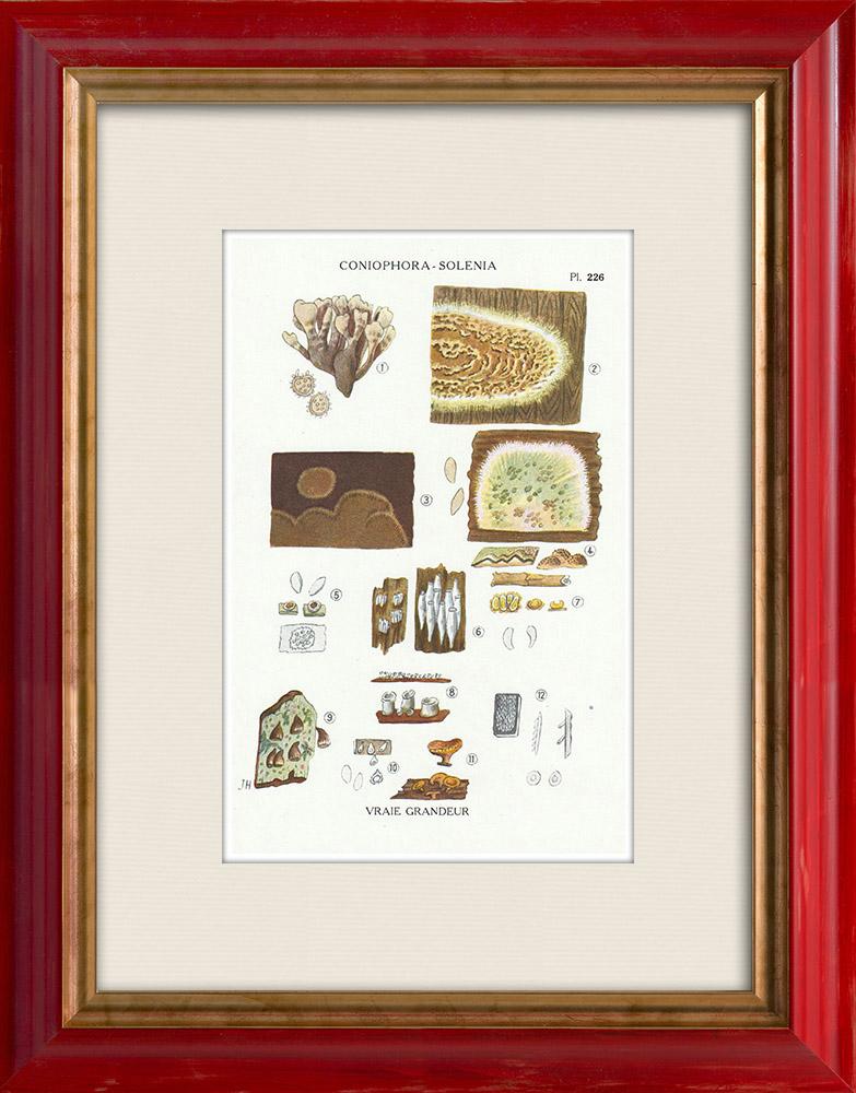 Gravures Anciennes & Dessins | Mycologie - Champignon - Coniophora - Solenia Pl.226 | Impression | 1919