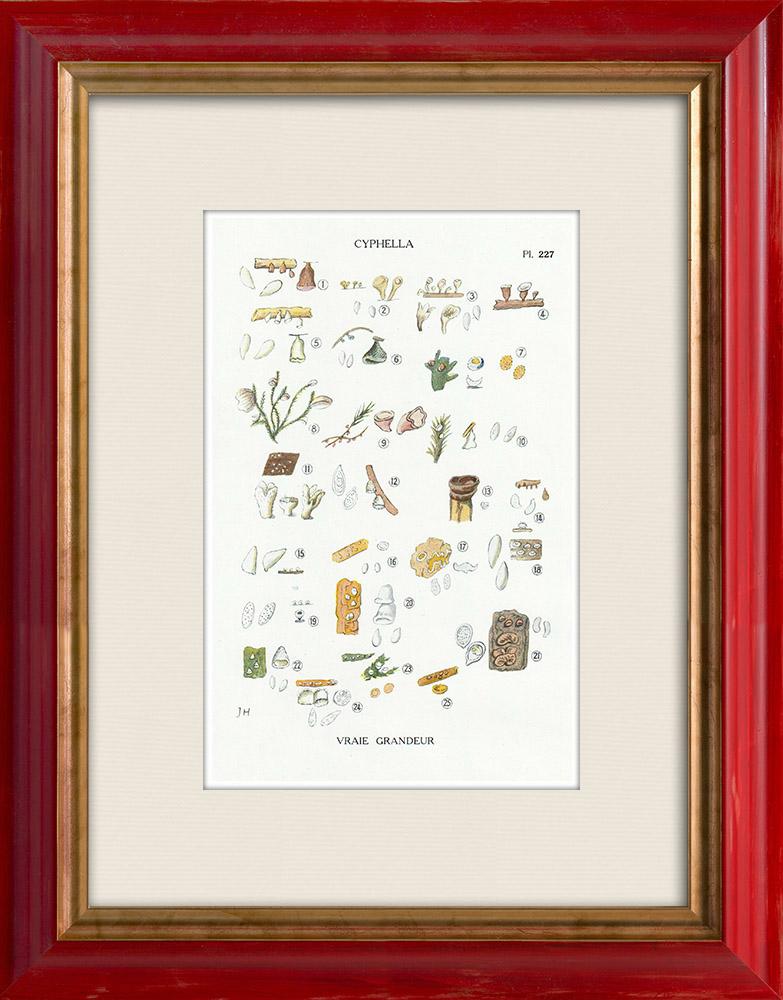 Gravures Anciennes & Dessins | Mycologie - Champignon - Cyphella Pl.227 | Impression | 1919