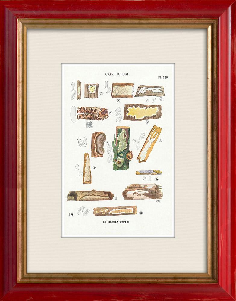 Gravures Anciennes & Dessins | Mycologie - Champignon - Corticium Pl.228 | Impression | 1919