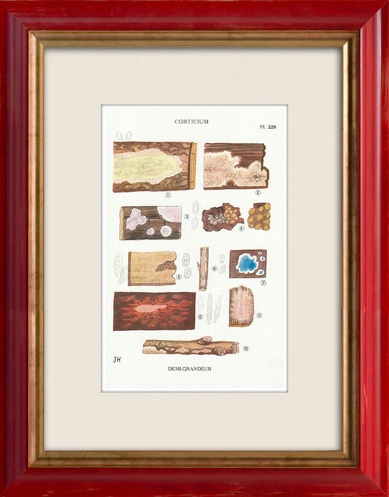 Gravures Anciennes & Dessins | Mycologie - Champignon - Corticium Pl.229 | Impression | 1919