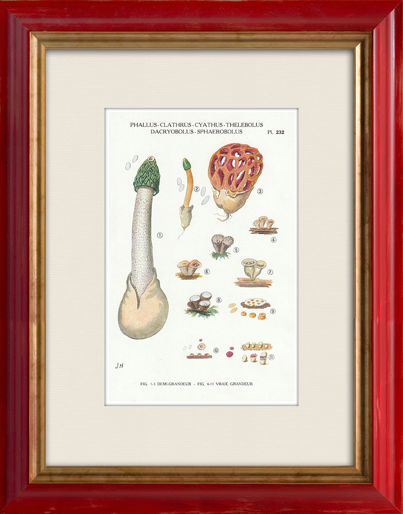 Antique Prints & Drawings   Mycology - Mushroom - Phallus - Clathrus - Cyathus - Thelebolus Pl.232   Print   1919