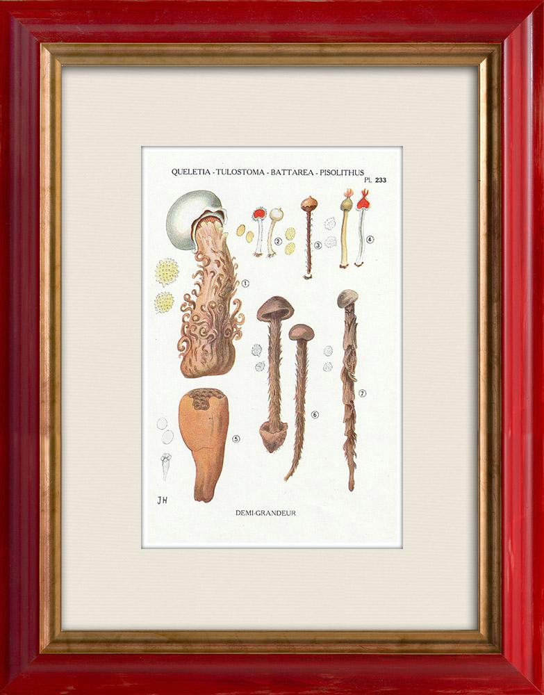 Antique Prints & Drawings   Mycology - Mushroom - Queletia - Tulostoma - Battarea - Pisolithus Pl.233   Print   1919