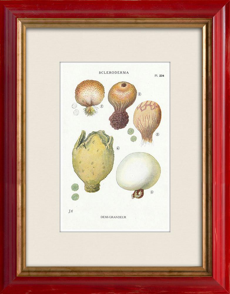 Antique Prints & Drawings | Mycology - Mushroom - Scleroderma Pl.234 | Print | 1919