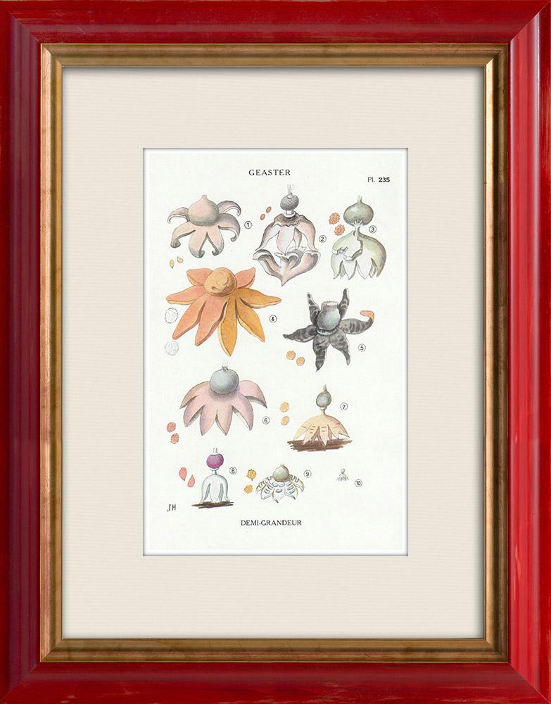 Antique Prints & Drawings   Mycology - Mushroom - Geaster Pl.235   Print   1919