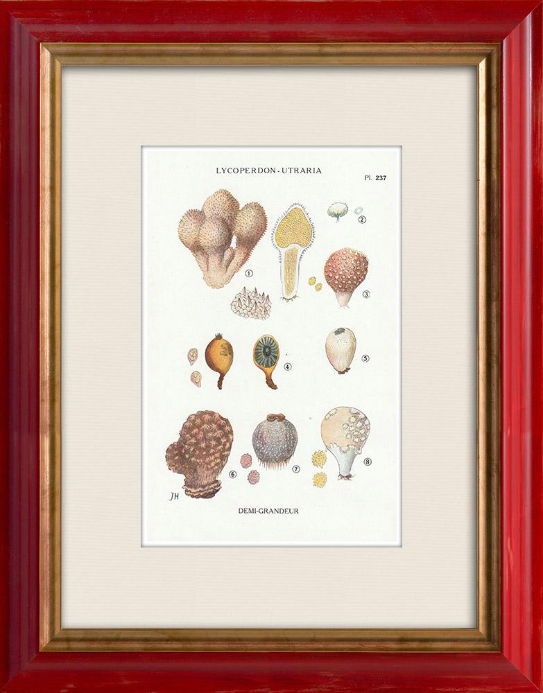 Gravures Anciennes & Dessins | Mycologie - Champignon - Lycoperdon - Utraria pl.237 | Impression | 1919